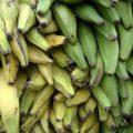 Bananes plantain (c) Luigi Guarino CCBY20