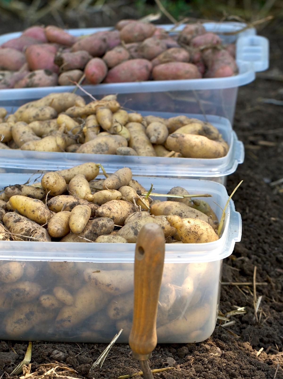 Pommes de terre (c) Chiot's Run CC BY-NC 2.0