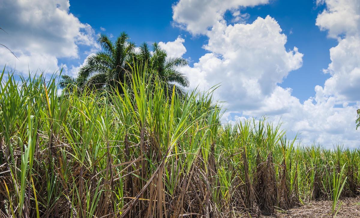 Canne à sucre - Cuba