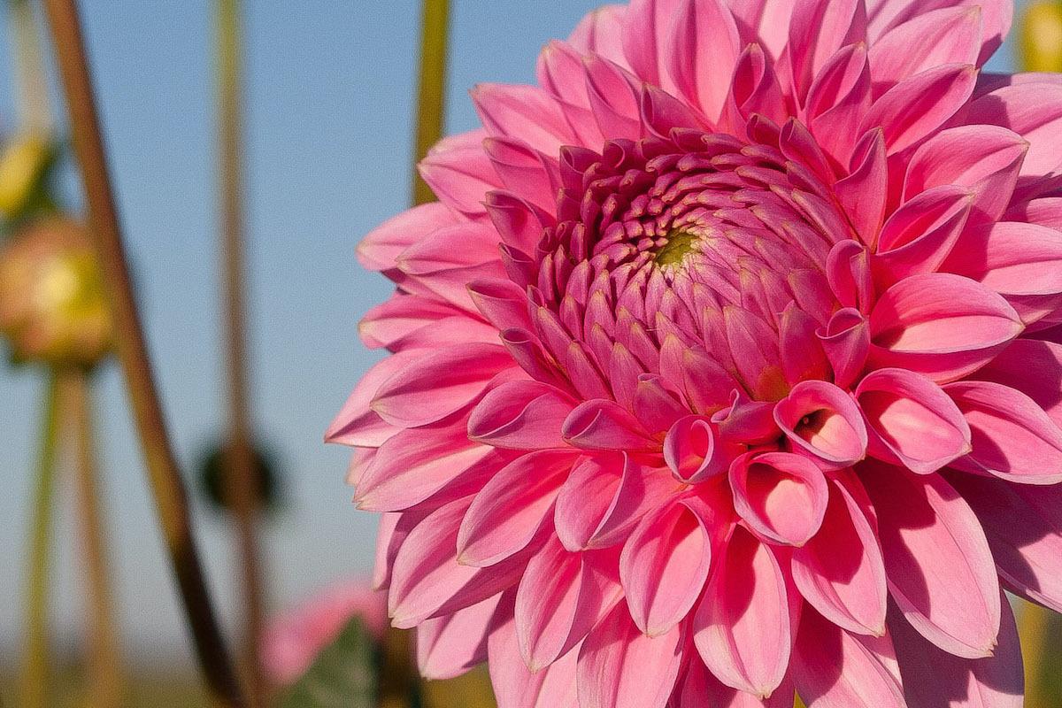 Chrysanthème ©Targut CC BY 2.0
