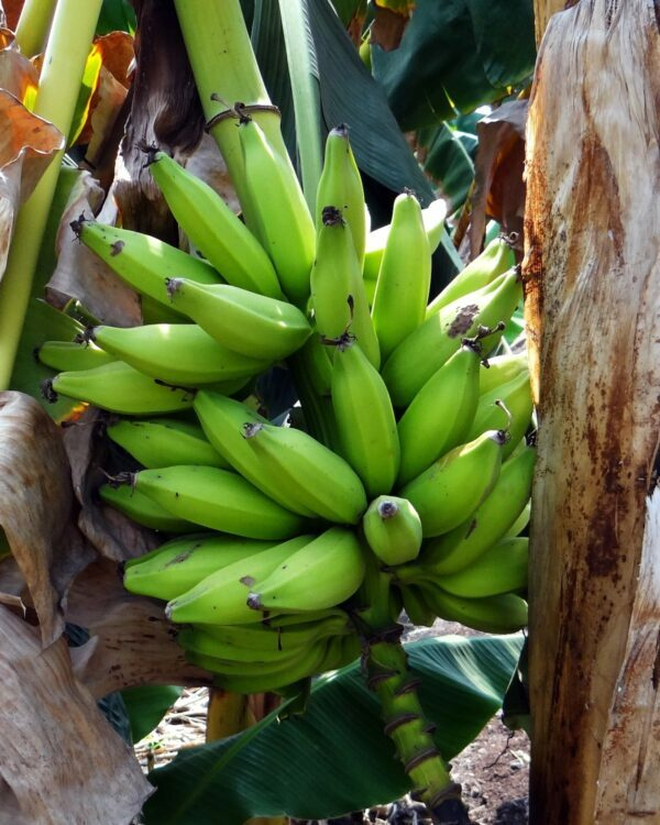 Bananes plantain crues ©Bishnu Sarangi de Pixabay