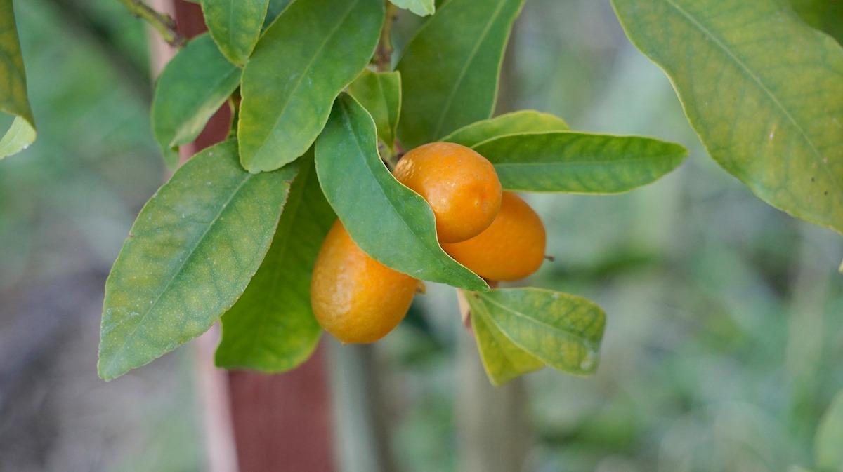 Kumquats (c) pixabay cco