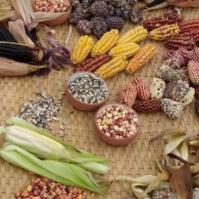 Les si nombreuses variétés de maïs du Pérou ; juste extraordinaire