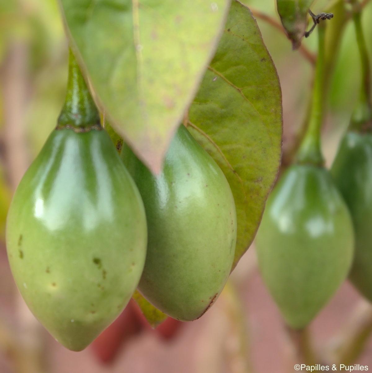 Sacha tomate vert