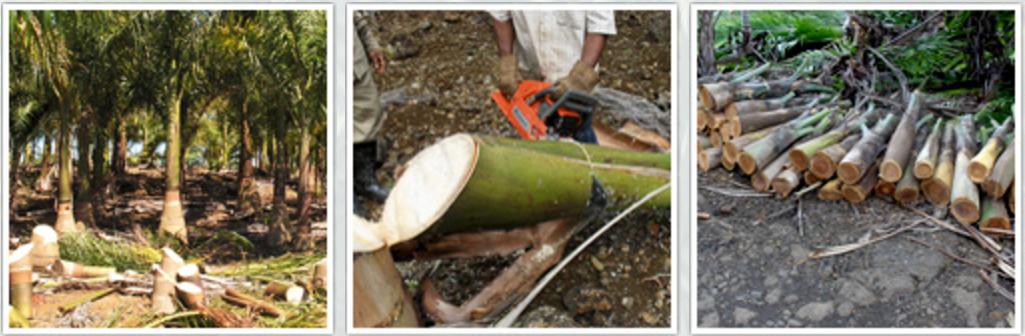 Récolte des coeurs de palmiers