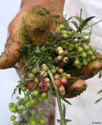 Molle, le faux poivre péruvien