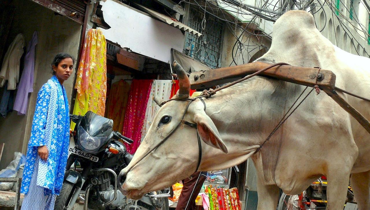 Vache sacrée (c) Cello5 CC0 Public Domain PIxabay