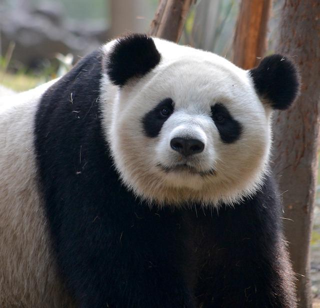 Panda (c)Julielines CCO Pixabay