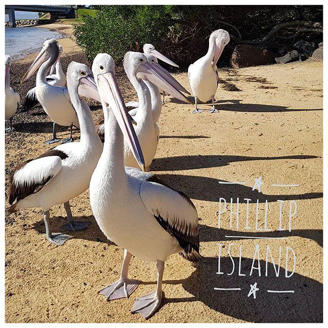 Les pélicans de Philip Island - Impressionnant