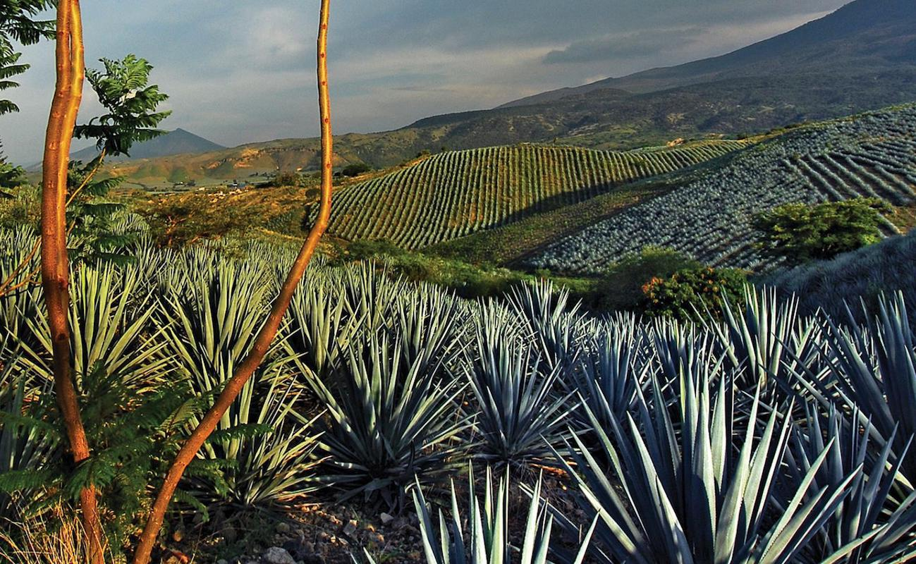 Champ d'agaves pour Tequila