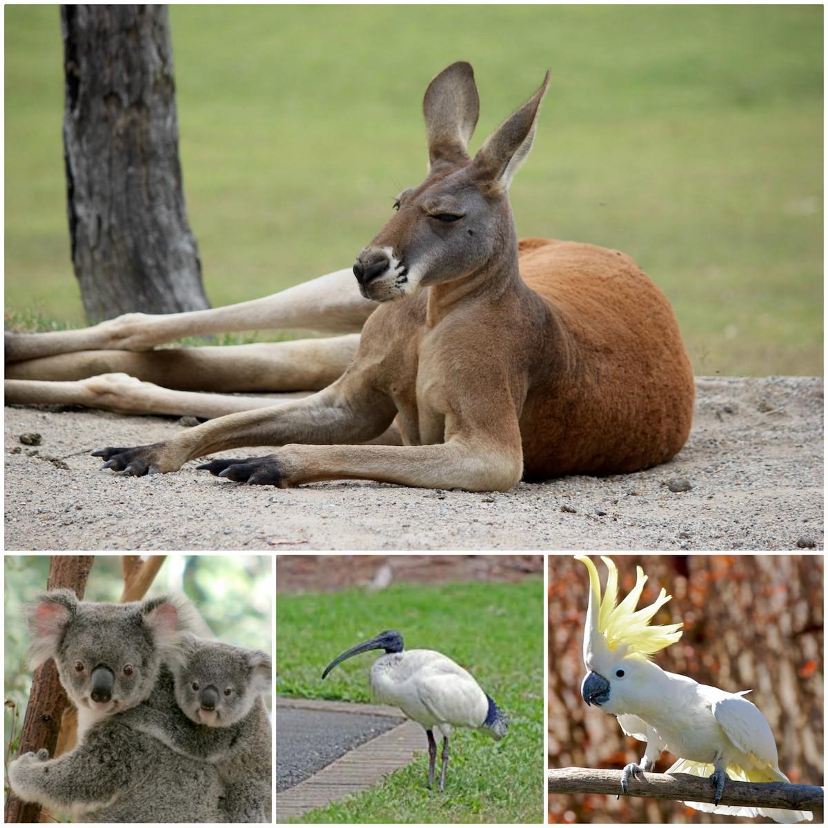 Les animaux australiens