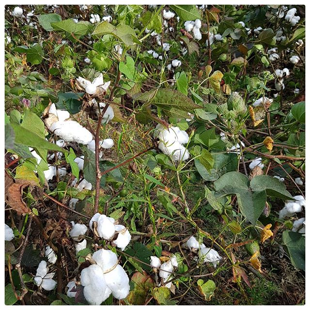 Champs de coton -