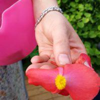Begonia pourpre