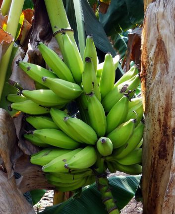 Bananes plantain (c) Saranbig CC0 Pixabay