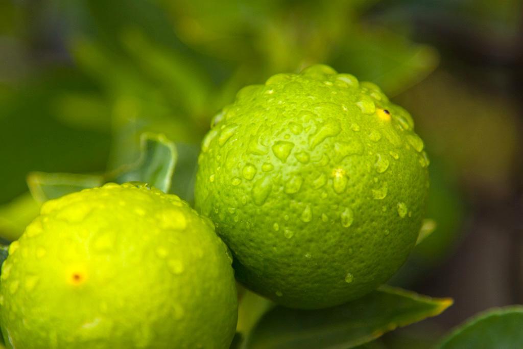 citron vert (c) CHris CCBYNCND20