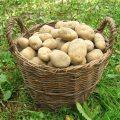 Pommes de terre (c) Pavlofox CC0 Pixabay