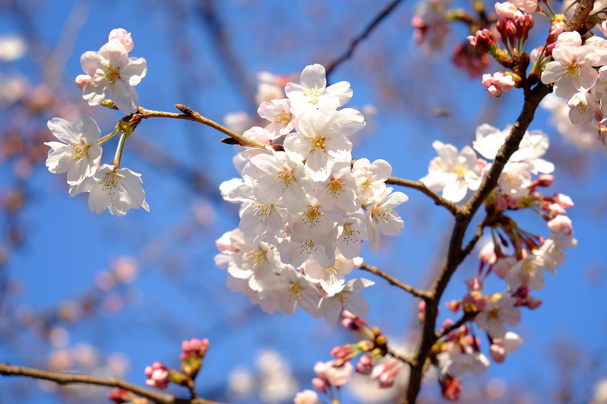 Sakura (c) Justin.c CC BY-NC-ND 2.0