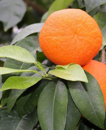 Oranges (c) photoAC CC0 Pixabay