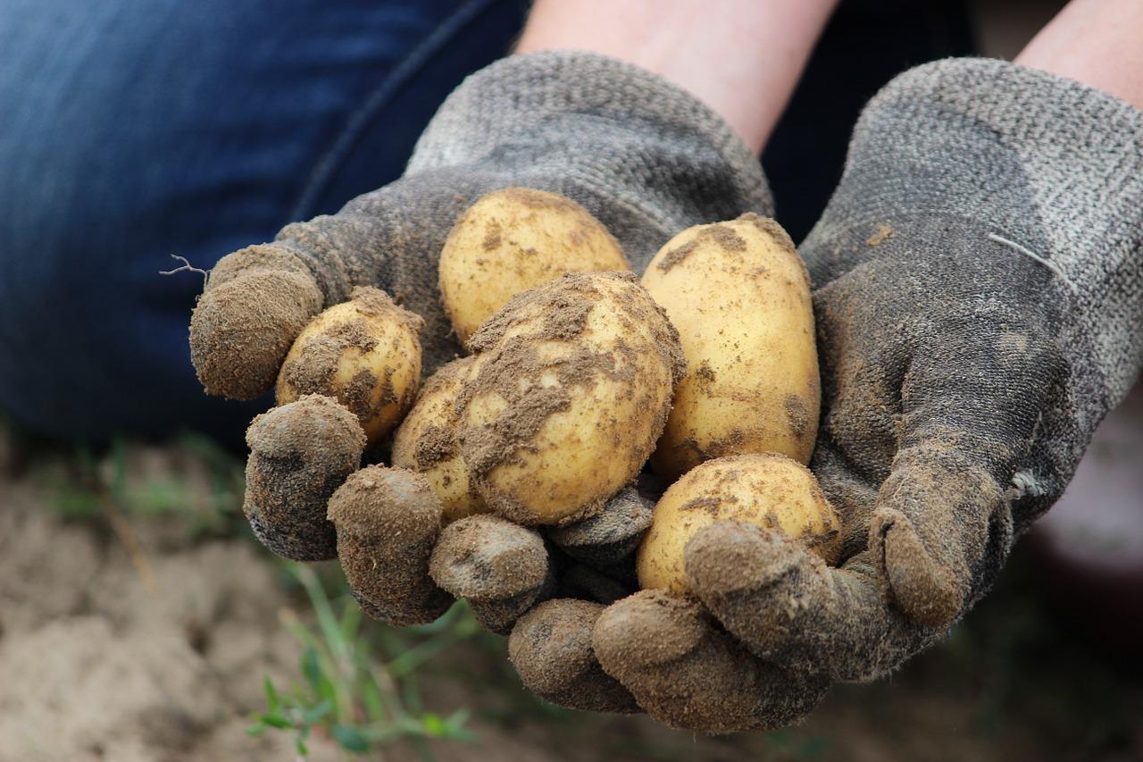Pommes de terre ©Rupprich CC0 Pixabay