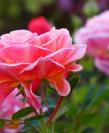 Rose © Linagrafie CC0 Pixabay