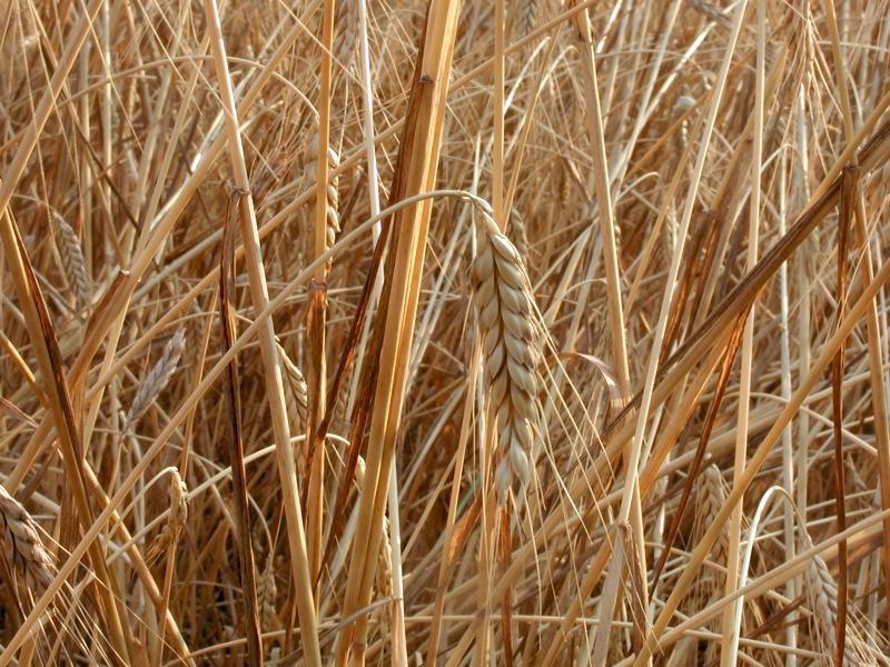 Farro (blé ancien)
