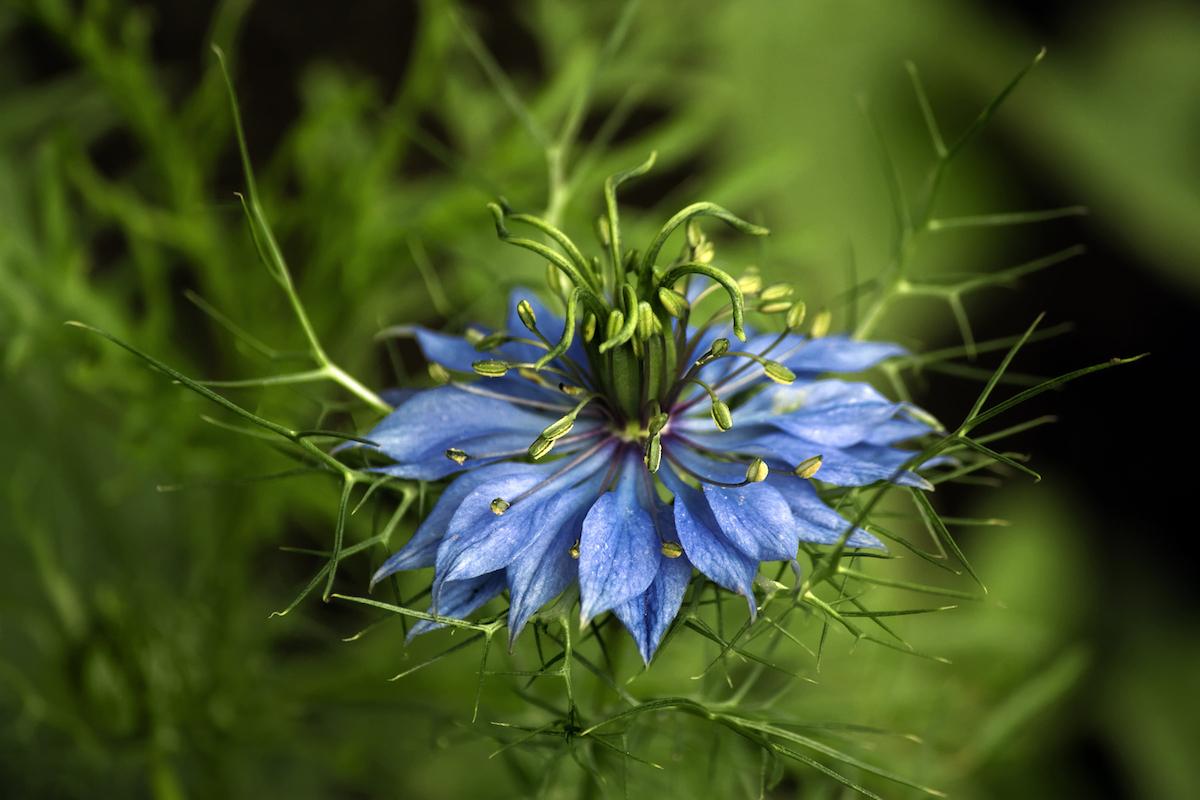 Fleur de Nigelle ©Gaschwald shutterstock