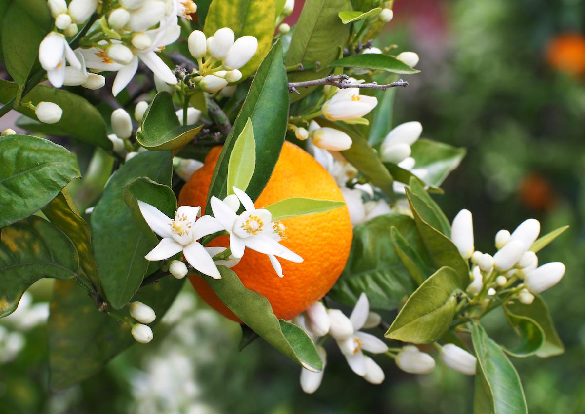 Eau de fleur d'orangers © Iness_la_luz shutterstock