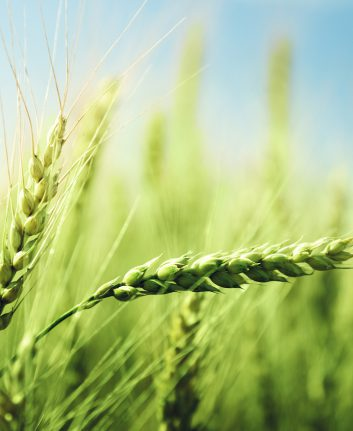 Blé en herbe ©Yashkaru shutterstock