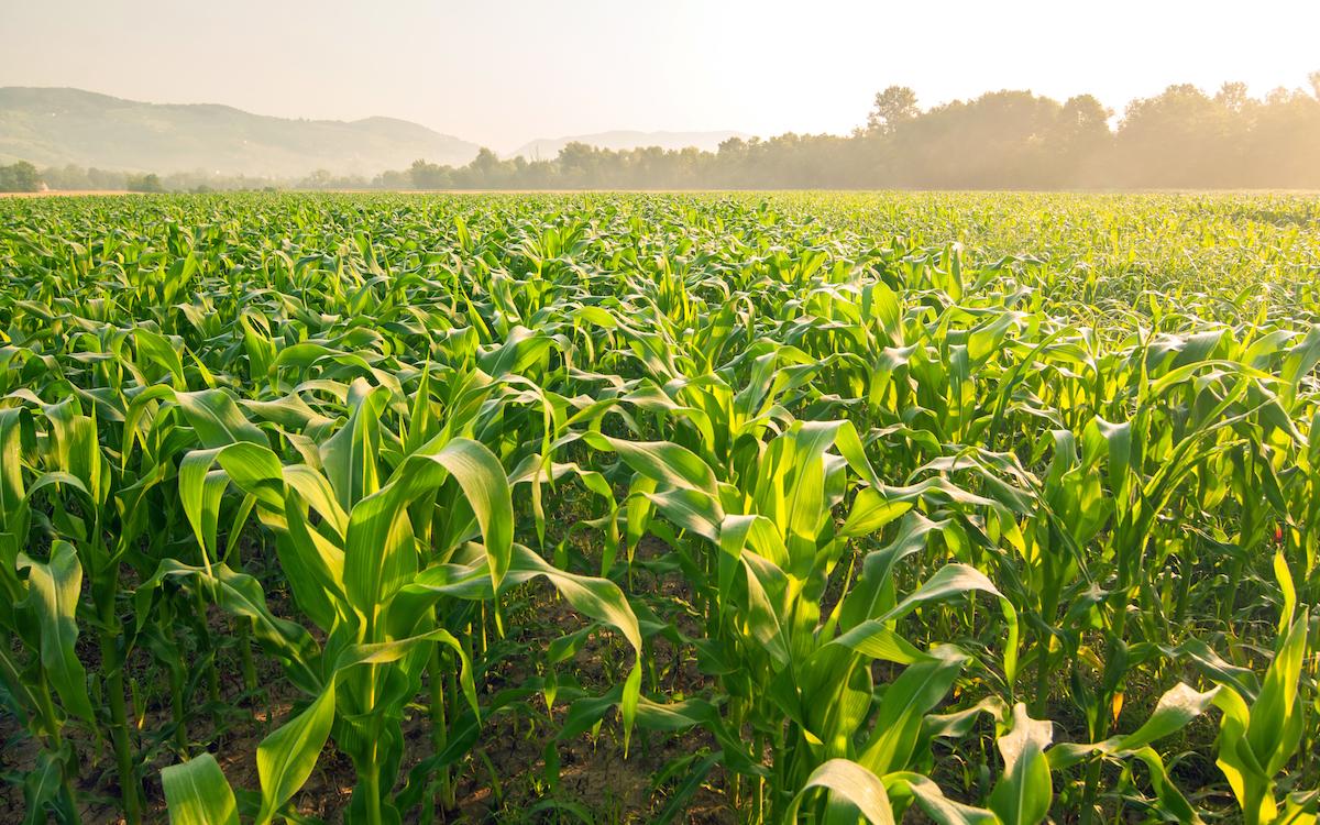 Champ de maïs ©Soru Epotok shutterstock
