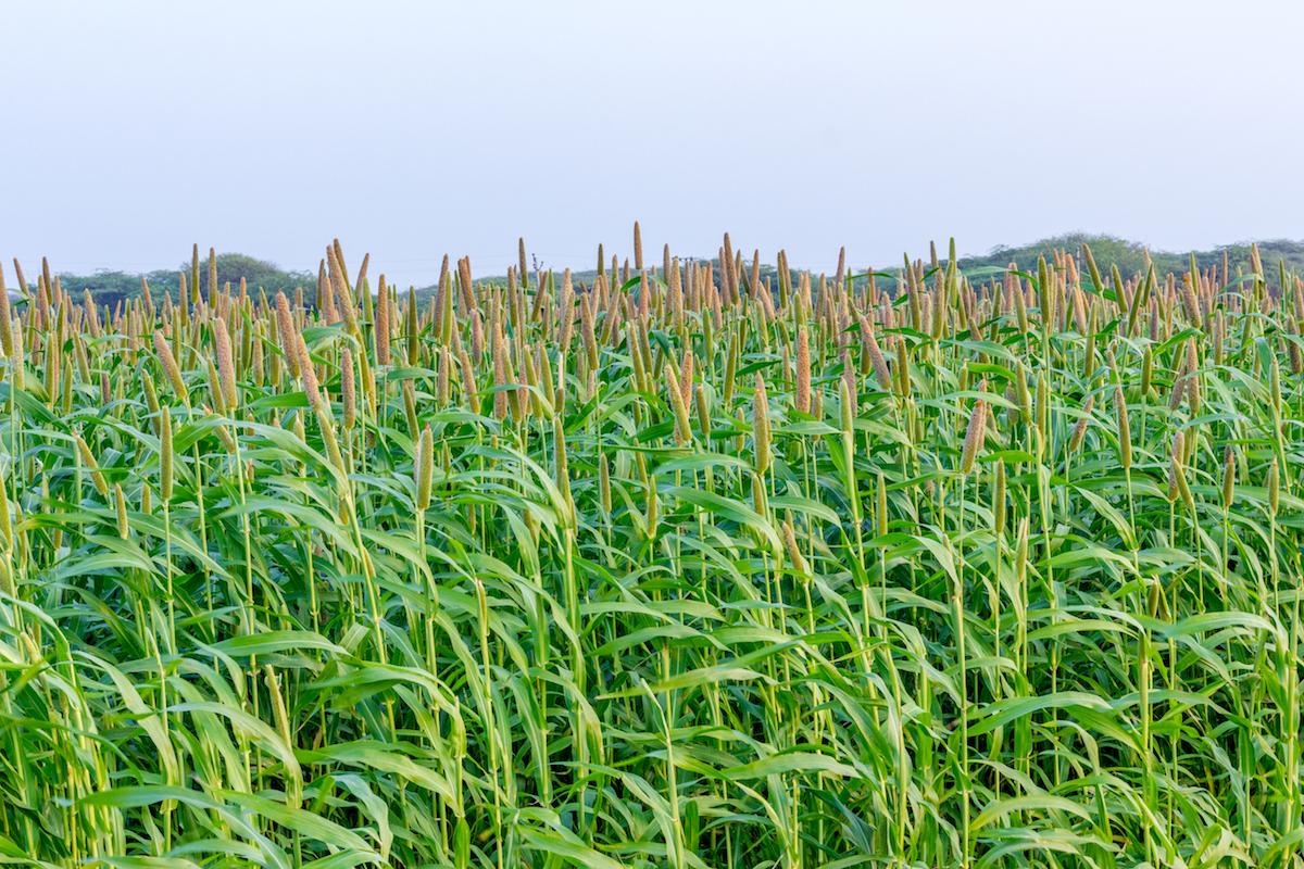 Champ de millet ©Dipesh Devdas Motivaras shutterstock