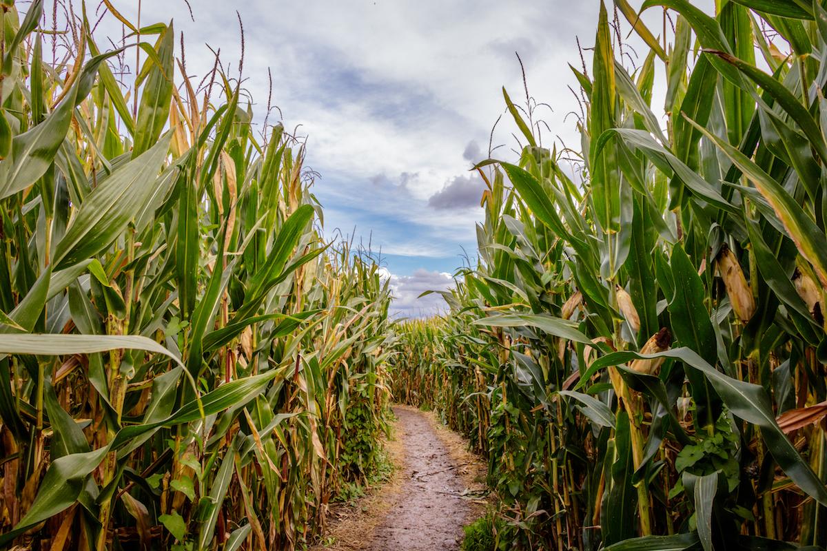 Labyrinthe de maïs ©Dennis Wegewij shutterstock