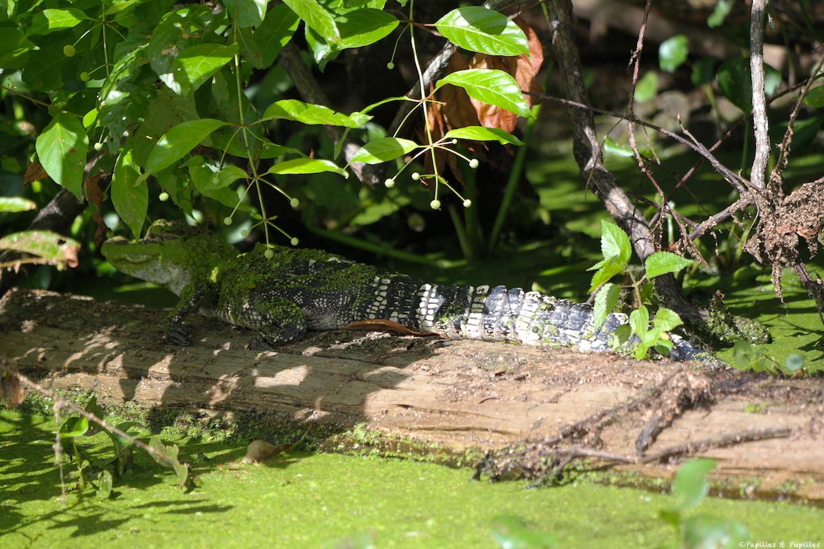 Alligator sur terre