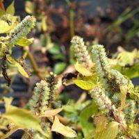 Egoma - Gros plan de la plante