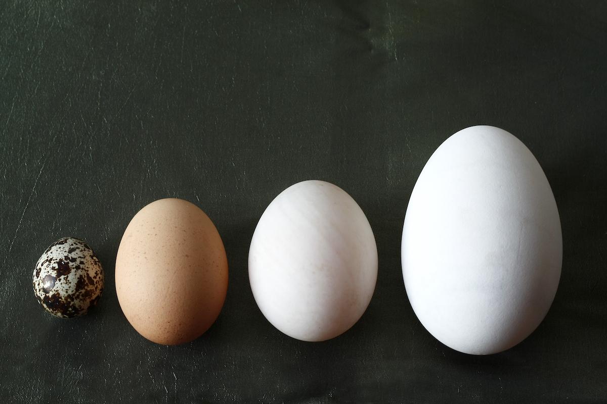 Oeufs de caille, de poule, de cane et d'oie ©CatMicroStock shutterstock