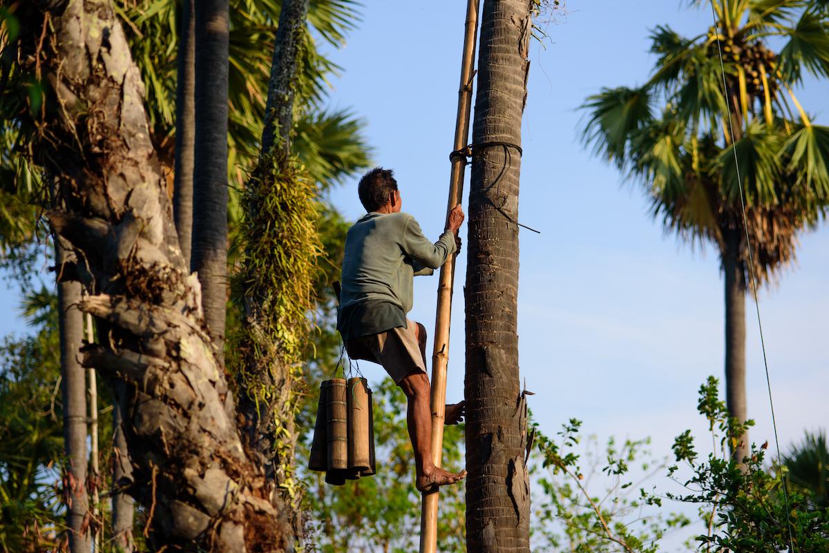 Récolte de la sève des palmiers à sucre © K.Decha shutterstock