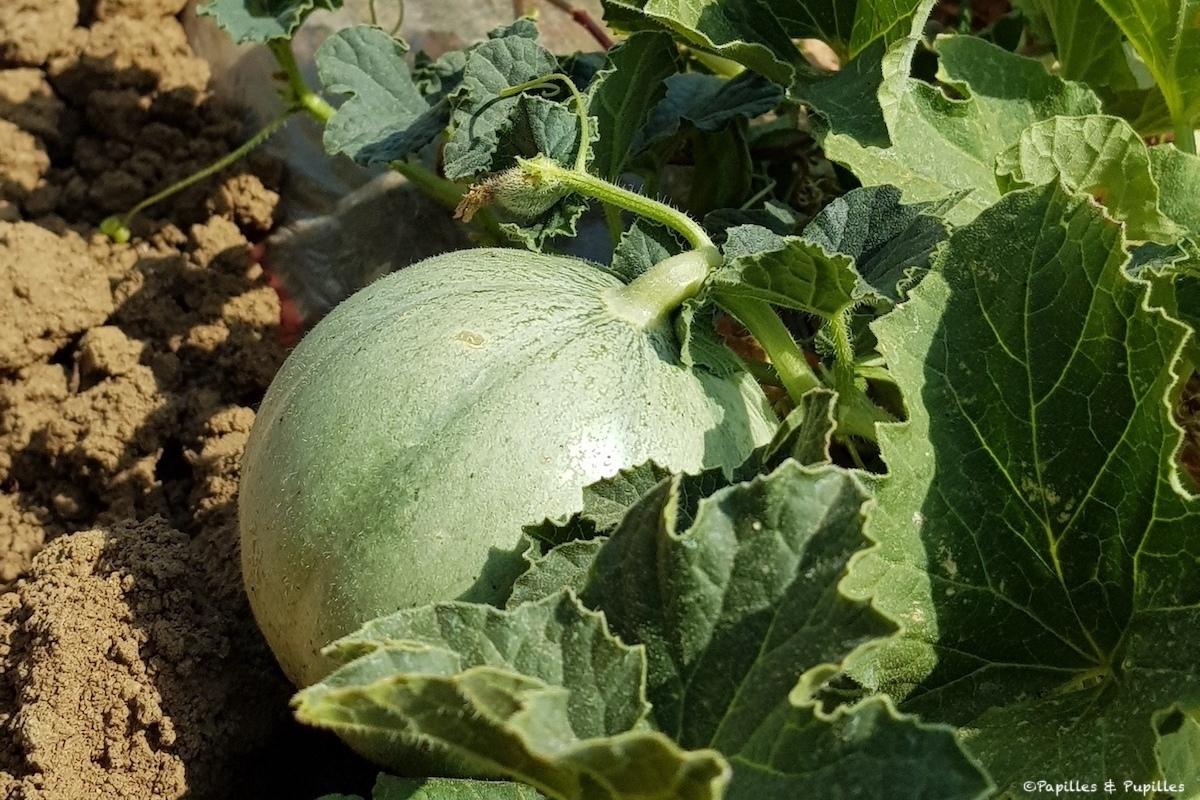 Melon en pleine terre