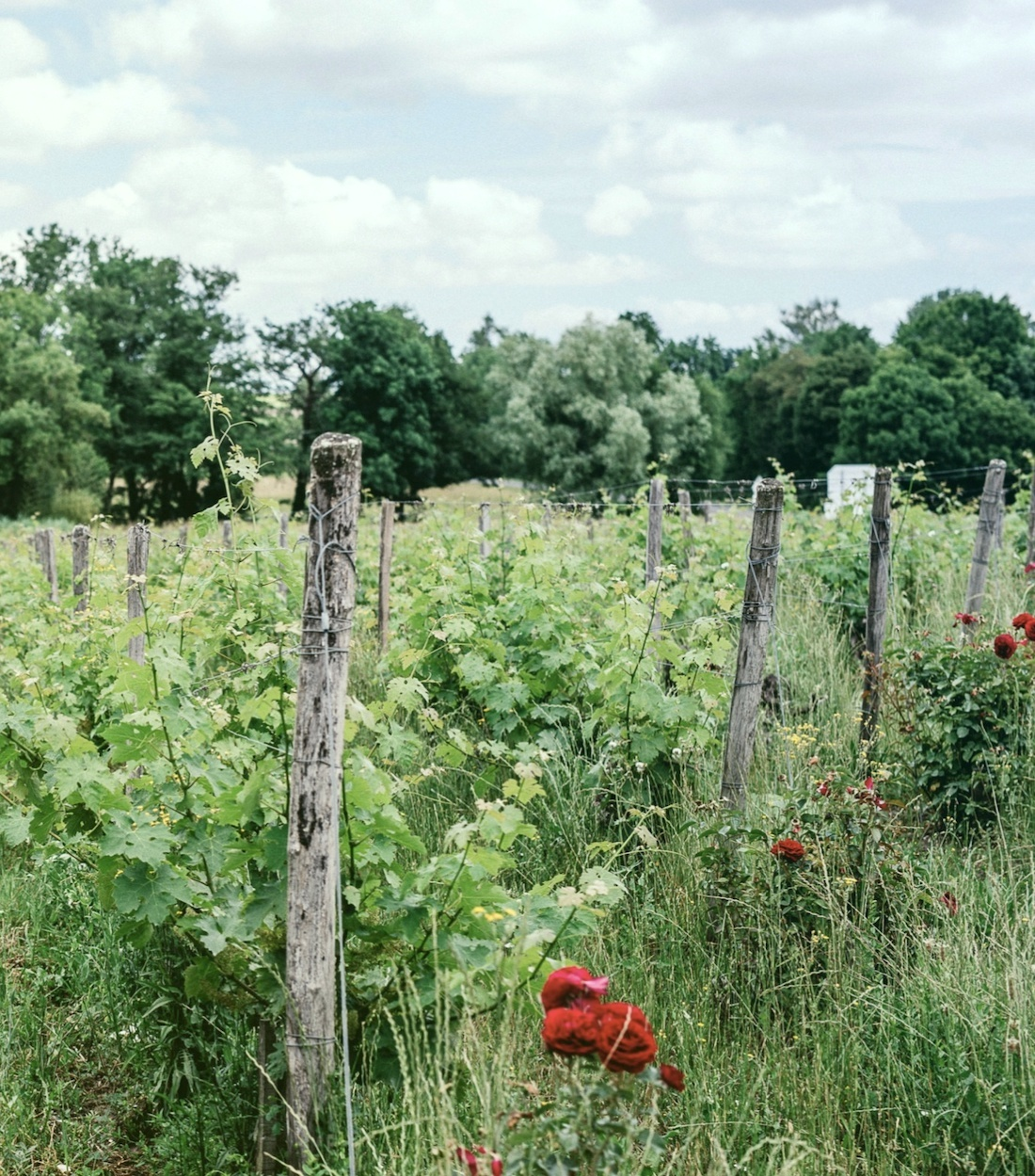 Vignes AgroForesterie