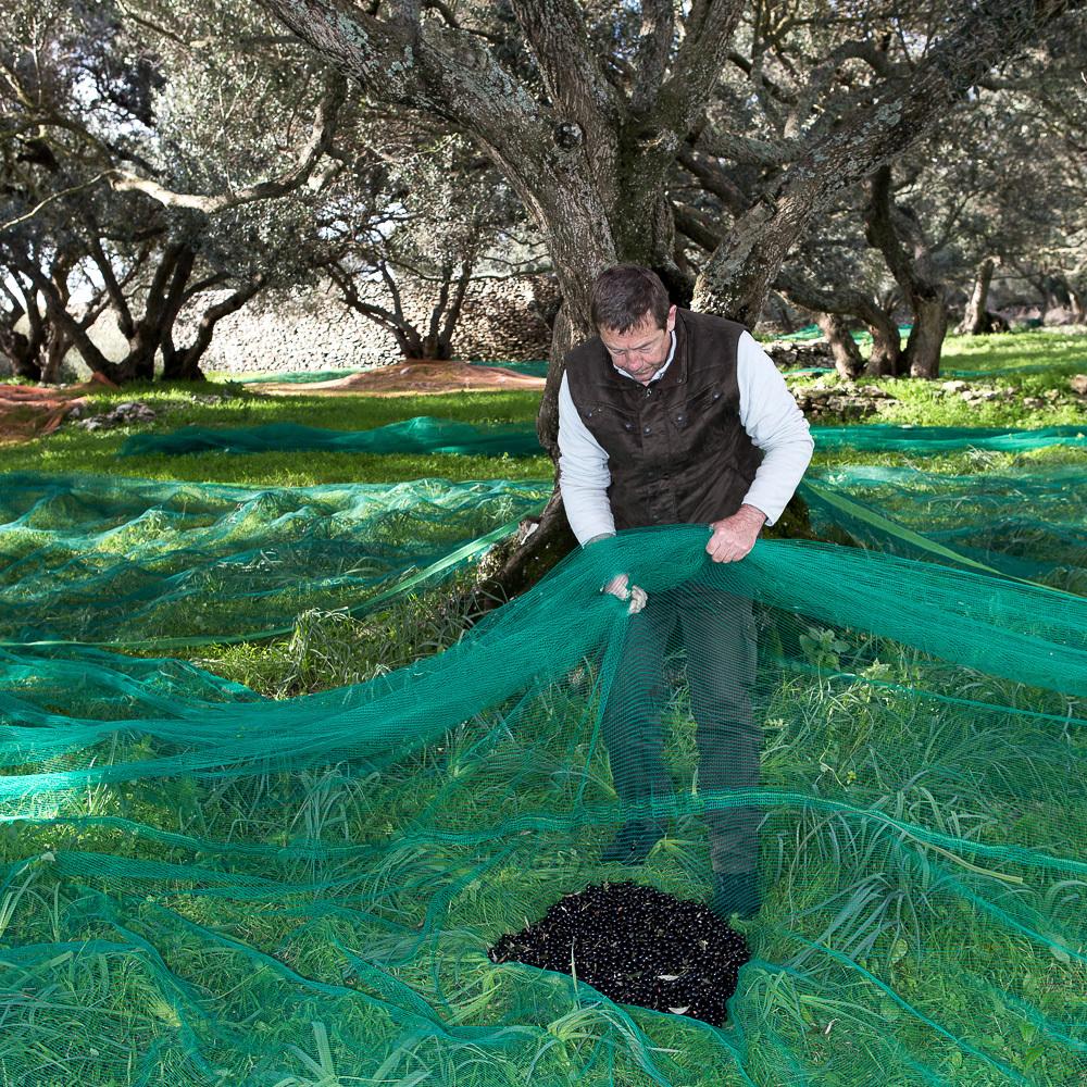 Cueillette des olives à l'ancienne