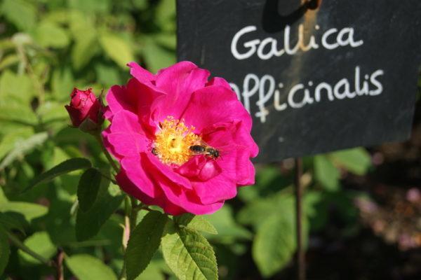 La rose des Provins