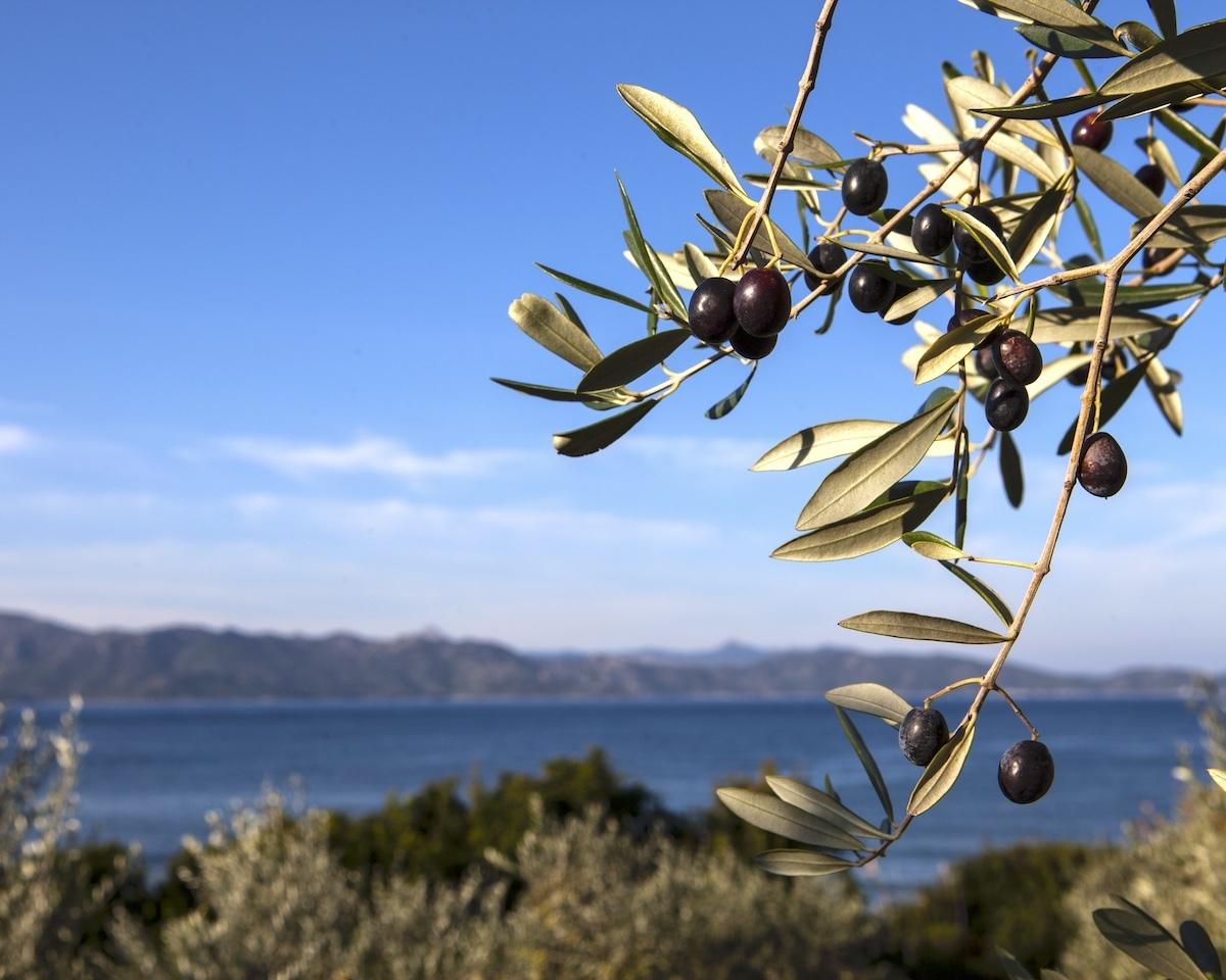 Olives noires sur l'arbre