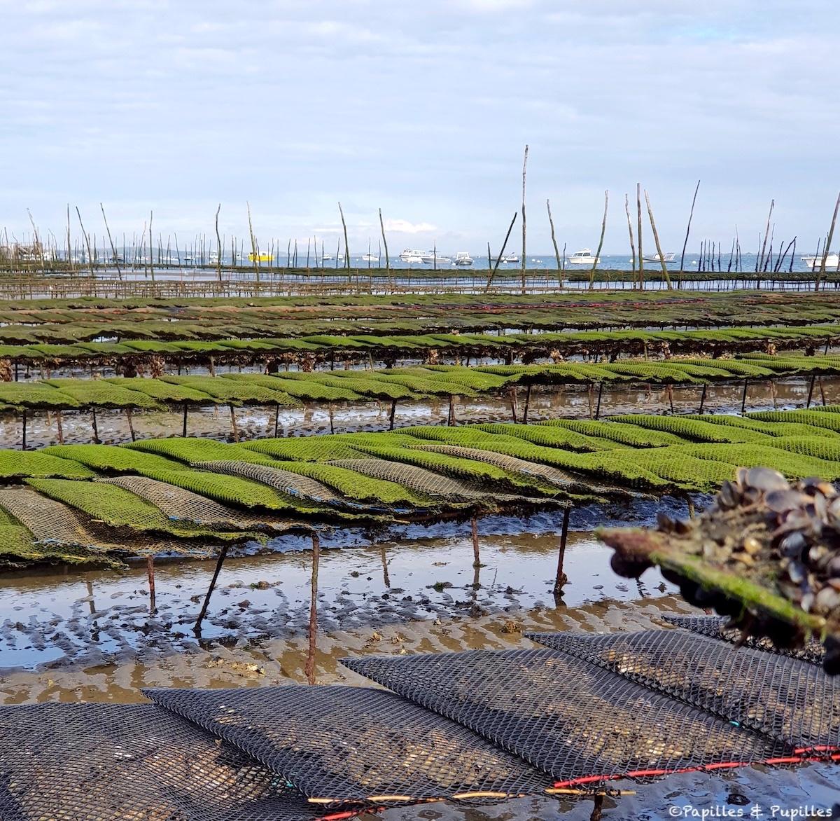 Elevage des huîtres sur tables