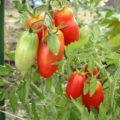Tomates San Marzano ©Satrina0 CC BY-NC-ND 2.0