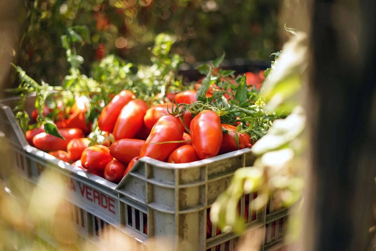 Tomates San Marzano dell'Agro Sarnese Nocerino DOP