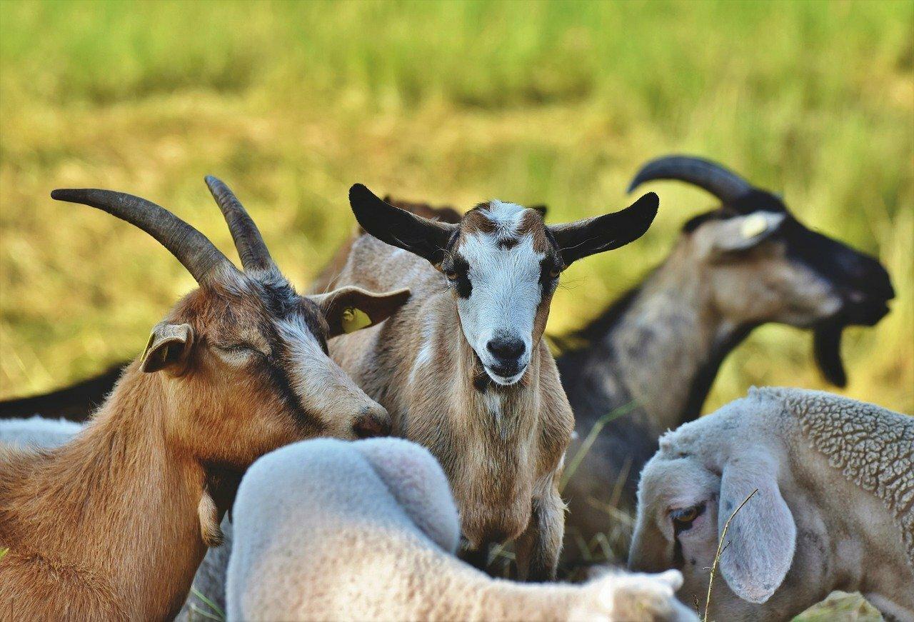 Chèvres ©Capri23auto CC0 Pixabay