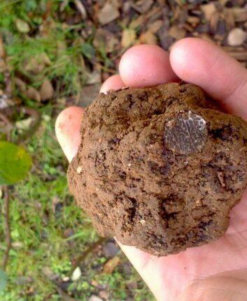 Truffe noire - Tuber melanosporum - Truffes Extra France
