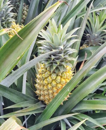 Ananas Victoria mûr