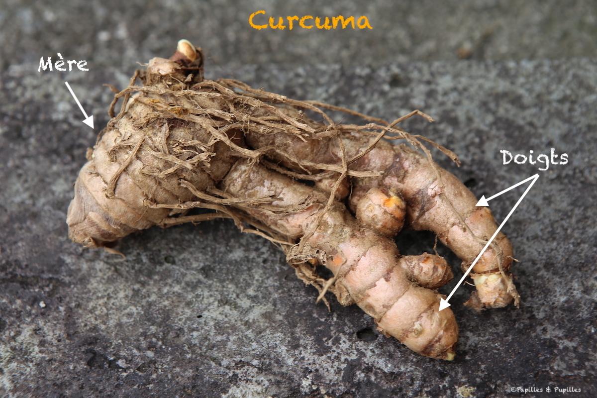 Curcuma - Mère et doigts