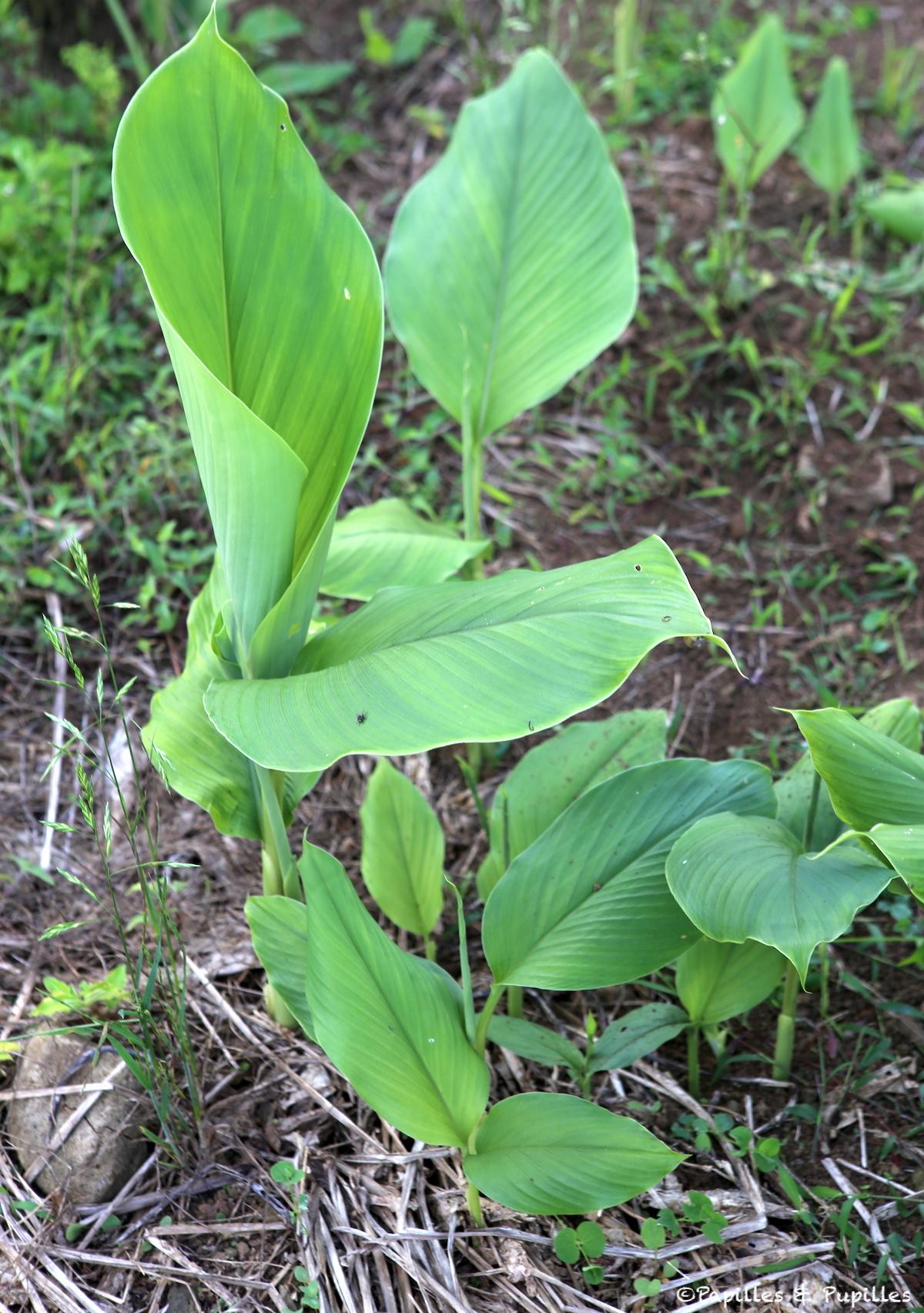 Curcuma - Plante
