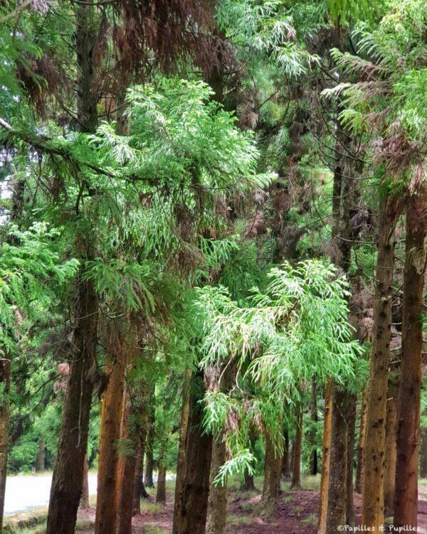 Forêt de Cryptoméria