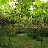 Plantation de chouchous